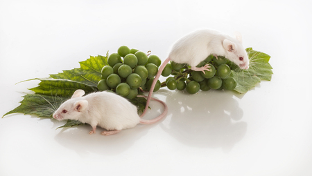 two small white mice with bunches of green grapes on a white background Stock Photo