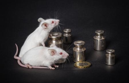 balanza de laboratorio: dos peque�os ratones de laboratorio blancas con pesos y monedas en un fondo gris. el concepto de actividad econ�mica