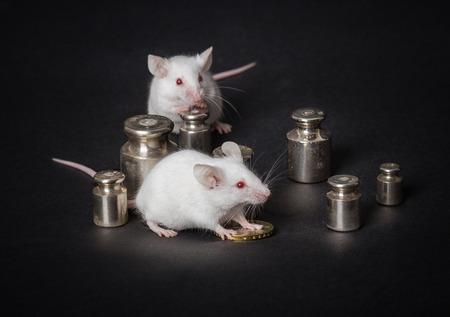 balanza de laboratorio: dos pequeños ratones de laboratorio blancas con pesos y monedas en un fondo gris. el concepto de actividad económica
