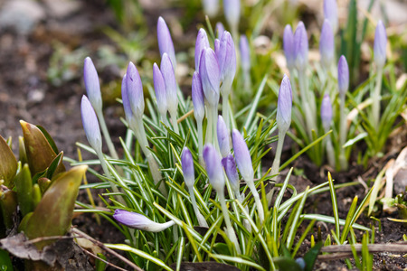 Purple  crocuses  germinate in the spring in the garden. Symbol of spring. Stock Photo
