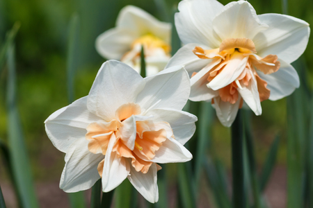 white daffodil (narcissus) with orange and yellow center