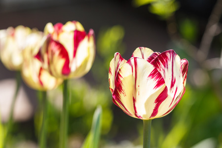 Beautiful rose and white tulip flowers with green blurred background. Stock Photo