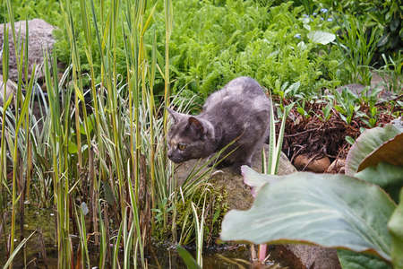 curious gray cat looking at the pond surrounded by spring  garden plants, trying to catch a fish Stock Photo