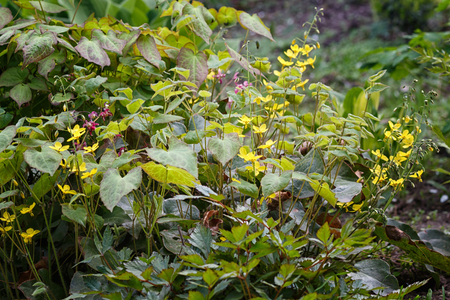 yellow  barrenwort (epimedium) flourishing in the garden 写真素材
