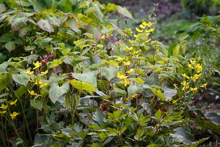 yellow  barrenwort (epimedium) flourishing in the garden Stockfoto