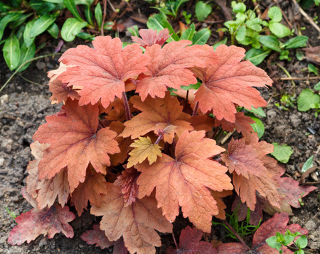 Heuchera or coral bells, plant with beautiful colored leaves