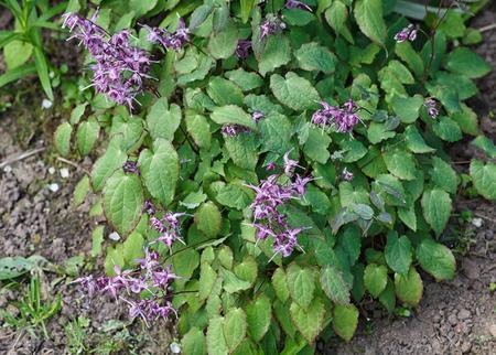 purple barrenwort (epimedium) flourishing in the garden