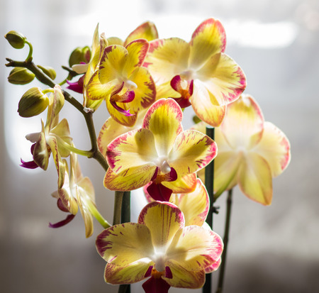 floristics: Beautiful orchids of different colors on white and grey background. Phalaenopsis hybrids. Close up.