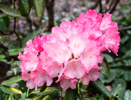 floristics: Beautiful  rhododendrons of different colors in the garden.