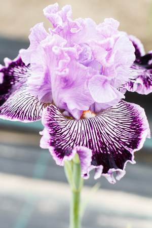 Beautiful multicolored iris flower bloom in the garden. Close up, fragility and summer concept.