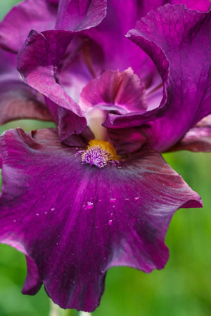 Beautiful iris flower with drops of water bloom in the garden. Close up, fragility and summer concept.