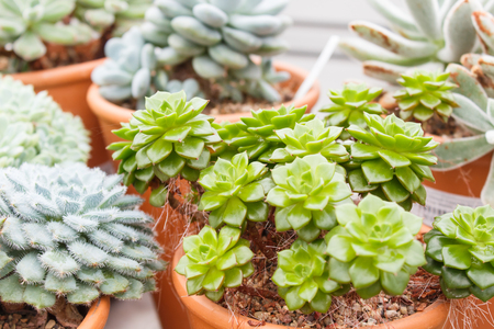 various types of succulent in flower pots in the greenhouse. Closeup, selective focus