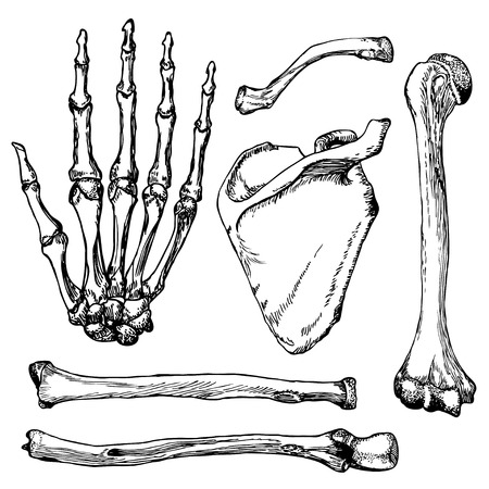 Set of human hand bones with scapula and collarbone. Hand drawn vector illustration. Isolated on white. Vectores