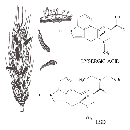 The chemical formula of LSD lysergic acid with the spike of rye struck by ergot. Vintage botanical sketch, engraved style vector illustration on white background