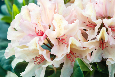 Rhododendron (azalea ) flowers of various colors in the spring garden. Closeup. Blurred background. Zdjęcie Seryjne