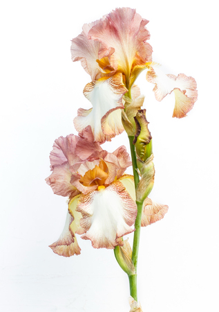 Beautiful multicolored iris flower isolated in white. Close up.