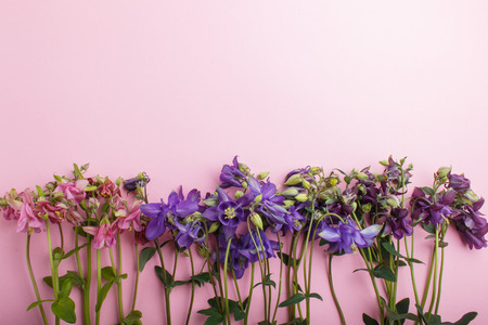 Pink and purple columbine flowers  on pastel pink background.  Morninig, spring, fashion composition. Flat lay, top view, copy space.