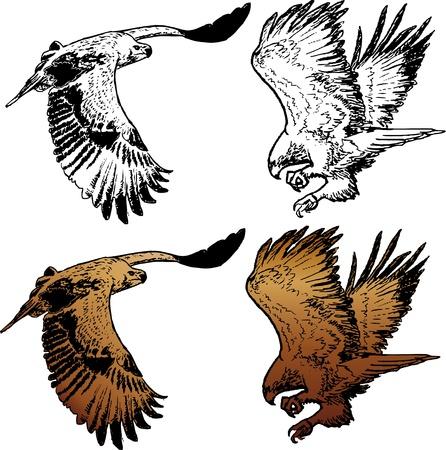 Twee cijfers van vliegende adelaar, lineart en gekleurd Stock Illustratie