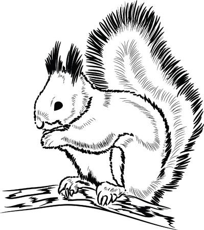acorn squirrel: Hand drawn squirrel lineart  Illustration