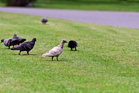 White pigeon in group of black pigeons.