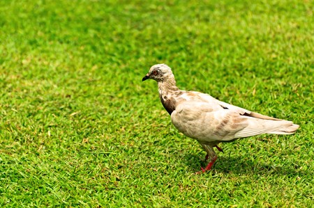 White pigeon on green grass.