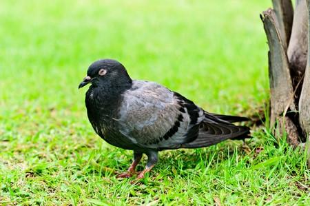 Nice pigeon on the green grass.