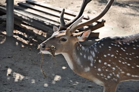 deer with beauty antler Stock Photo