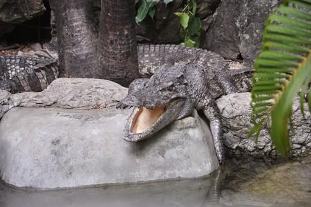 crocodile on the stone Stock Photo