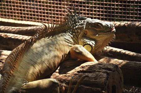 Iguana in warm sunlight. Stock Photo