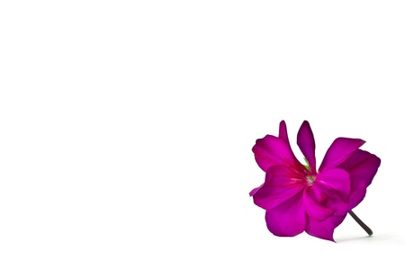 pelargonium: Beautiful Pelargonium Flower  on white Stock Photo