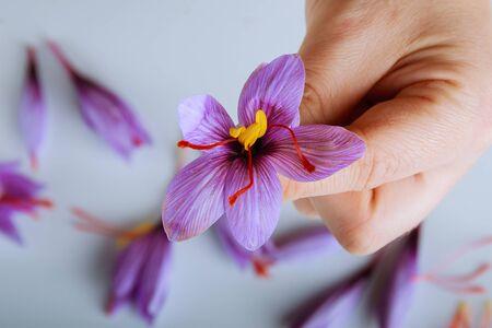 Freshly cut saffron flower in a woman hand.