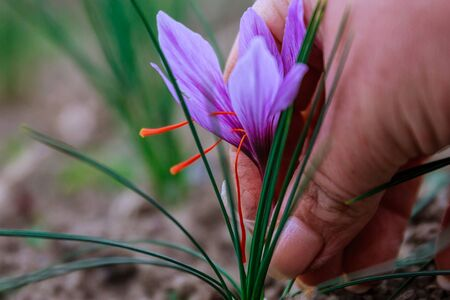 Harvest in saffron field. The most expensive spice in the world Standard-Bild