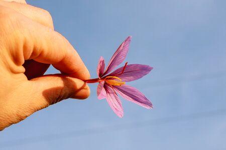 Freshly cut saffron flower in a hand.