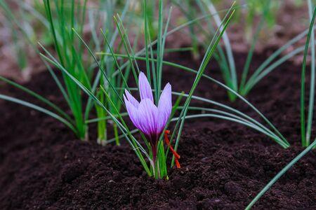 Saffron flowers during flowering on a saffron field. Standard-Bild