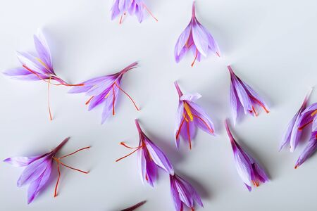 Many purple crocus sativus flowers isolated on white background.