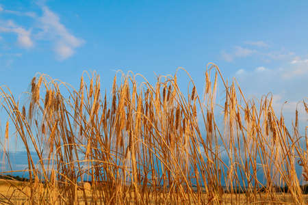 Spikelets of wheat on the blue sky. Stock fotó