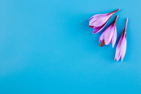 Fresh saffron flower on a blue background. Place for your text.