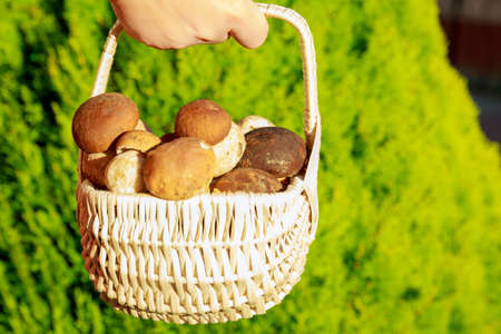 Basket with porcini mushrooms on the grass. Mushroom picking season.
