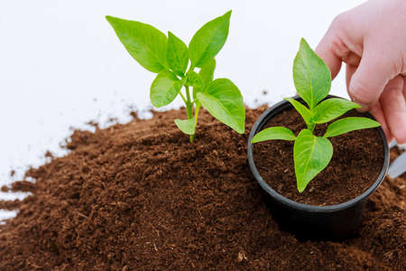 pile of fertile land on a white background. Planting pepper in plastic pots
