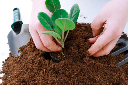 pile of fertile land on a white background. Planting cabbage in plastic pots Banque d'images