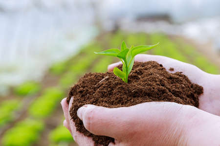The farmer holds the soil with seedlings of pepper in his hands