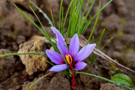 Saffron flowers during flowering on a saffron field. Banque d'images