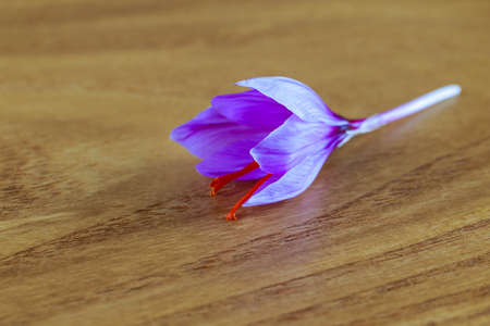 Fresh saffron flower on a wooden background. The use of saffron in medicine, cooking, cosmetology