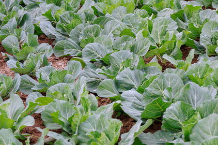 white cabbage grows on organic farm. cabbage field. Green cabbage in the garden.