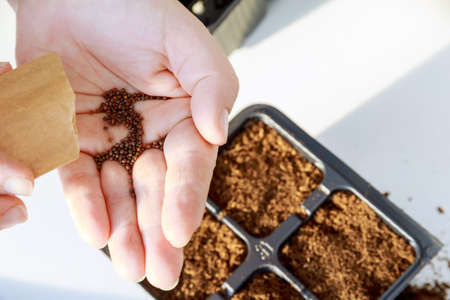 Farmers are sowing seed plants into the ground. seeds sown on peat in black plastic pots