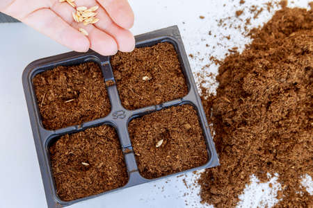 Farmers are sowing seed plants into the ground. seedlings raising tray for sowing seeds.