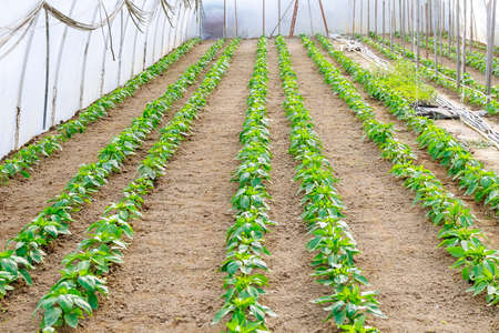 Vegetable rows of peppers grow in the greenhouse. Pepper Plants in a Greenhouse.