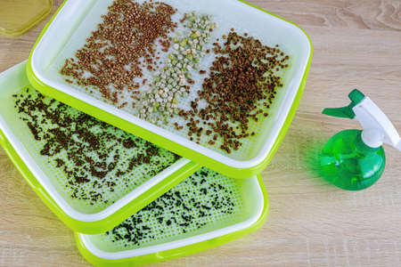 The process of planting seeds in microgreening trays. Germination of seeds. Growing microgreens. Banque d'images