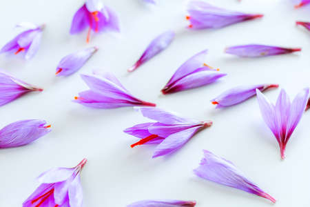 Many purple crocus sativus flowers isolated on white background. The most expensive spice. Banque d'images