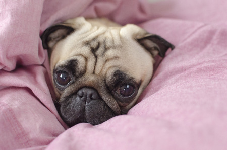 cute dog breed pug  wrapped in  pink blanked